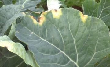 coliflor con mildiu