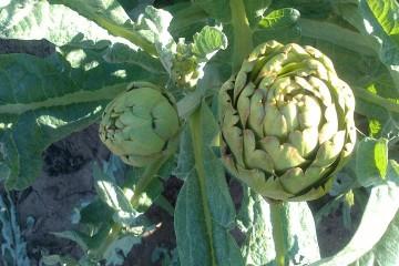 huertos-ecologicos-valencia-alcachofa