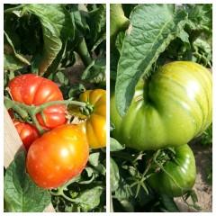 tomates-huertos-ecologicos