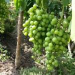 racimos-uvas