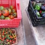 tomates-berenjenas-ecologicas